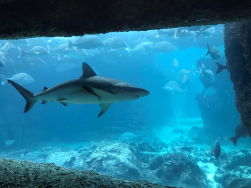 Shark at Atlantis Paradise Island Bahamas