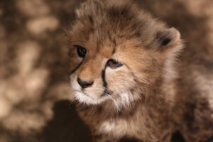 Baby Cheetah South Africa
